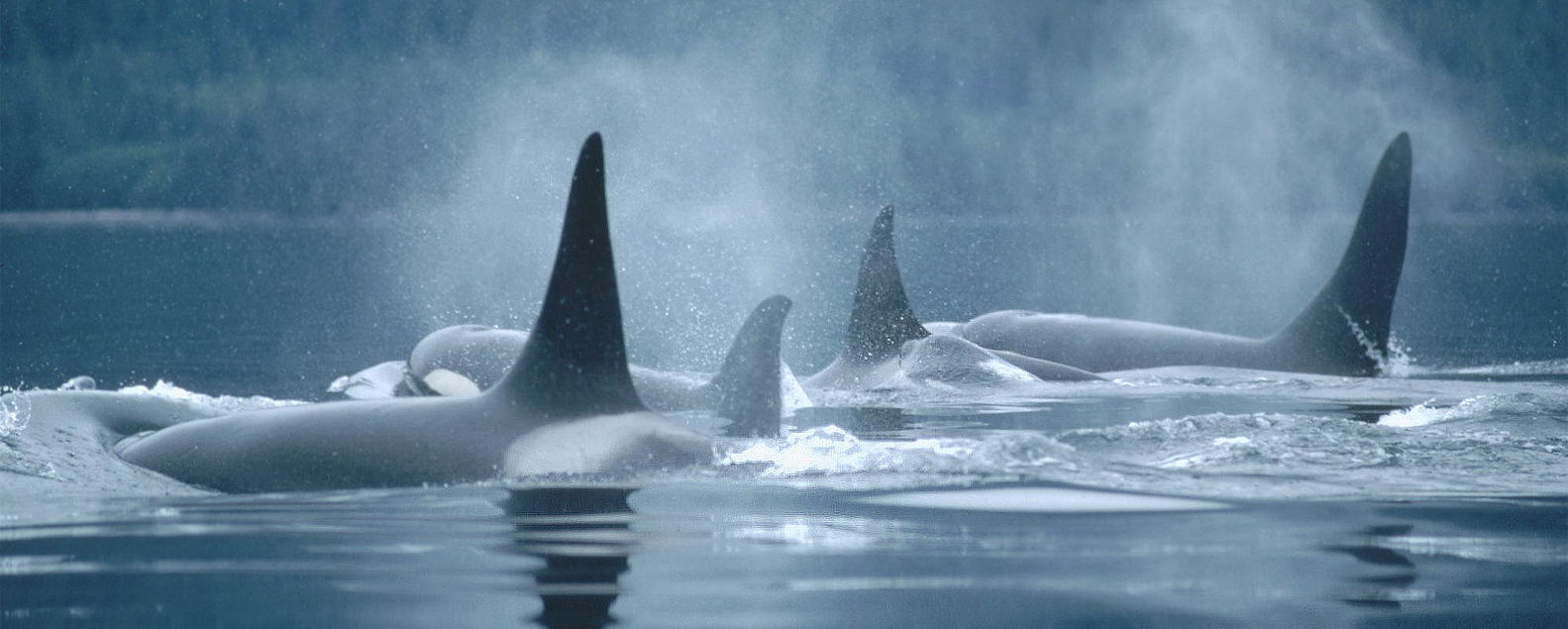 Guided Kayaking with Orcas