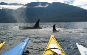 pacific orcas